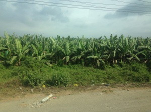 Banana fields forever