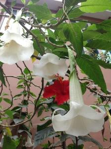 Lima flowers.